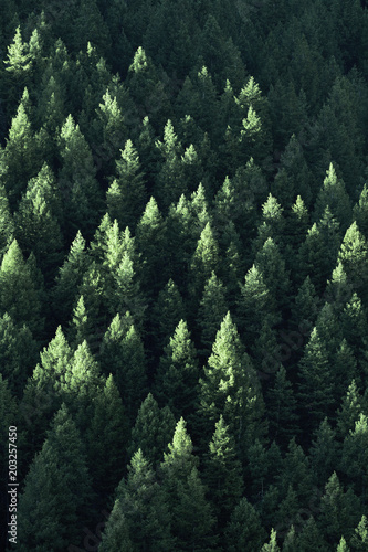 Garden Poster Forest Forest in Wilderness Pine Trees