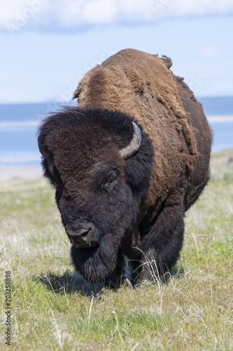 Foto op Plexiglas Bison Bison