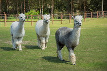 Two White Alpacas And One Grey Alpaca Walking On Green Pasture