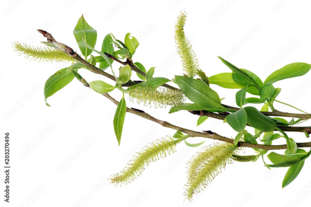 Fototapeta Spring April  twigs  with flowering buds and green leaves  of wild Willow tree.