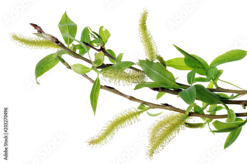 Tablou Canvas Spring April  twigs  with flowering buds and green leaves  of wild Willow tree