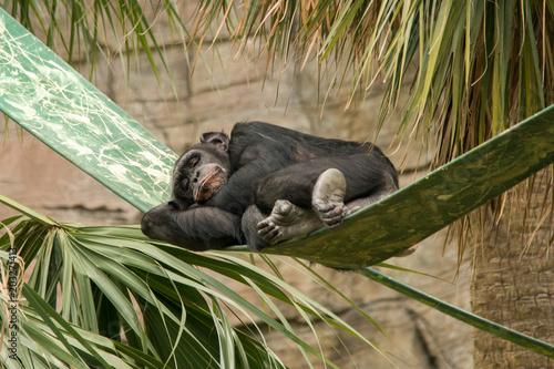 Fotografie, Obraz  Sleeping Chimpanzee