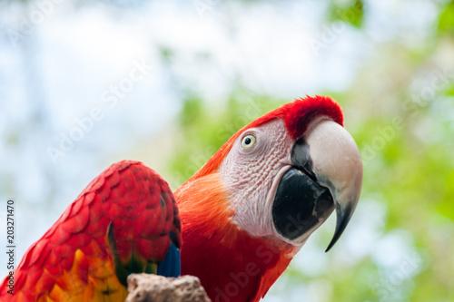 Foto op Aluminium Papegaai Red Macaw parrot, Ruinas Maya de Copan