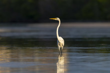 Great Egret In Shallow Water