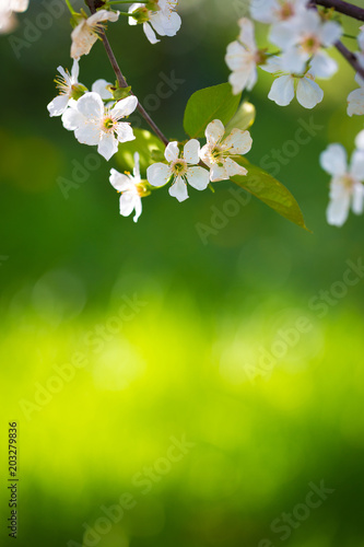 Blooming cherry branch at spring garden against unfocused green grass background.