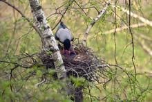 Crow Feeds Baby Birds
