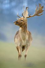 The Fallow Deer (Dama Dama) Is A Ruminant Mammal Belonging To The Family Cervidae. Rain; Game Farm, Green Background. In The Fight