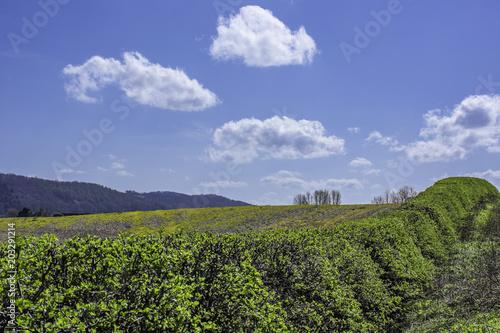 Fotobehang Lavendel Green hedges in spring on british countryside.