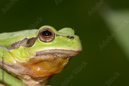 Tuinposter Kikker The European tree frog Hyla arborea is a small tree frog found in Europe, Asia and part of Africa.