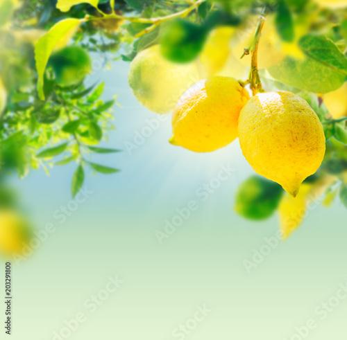 Lemon garden of Sorrento Fototapete