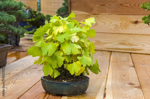 Bonsai tree  - Ginkgo