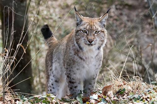 Foto op Canvas Lynx Eurasischer Luchs (Lynx lynx)