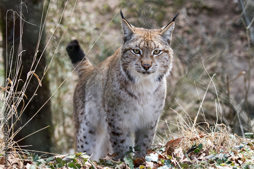 Tuinposter Lynx Eurasischer Luchs (Lynx lynx)
