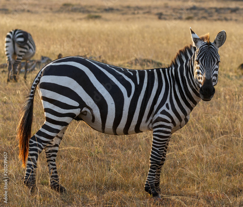 Portrait of zebra standing on grassy field at Maasai Mara National Reserve