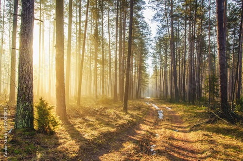 Fototapeten Wald Bright sunlight in spring forest. Morning landscape of green forest. Picturesque forest road. Woodland with vivid sunbeams. Natural nature