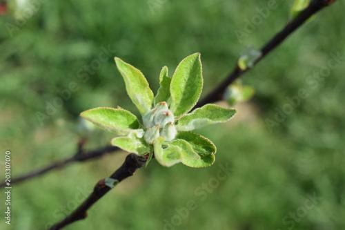 Zdjęcie XXL Zielony pąk na jabłoni odmiany Topaz