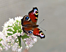 A Butterfly  Peacock Eye On Onion Flower