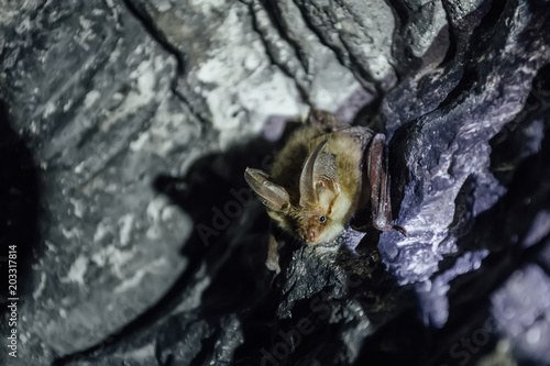 Brown common long-eared bat (Plecotus auritus) in chalky cave