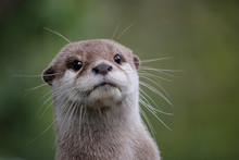 Cute Close Up Portrait Of An Asian Or Oriental Small Clawed Otter (Aonyx Cinerea) With Out Of Focus Background
