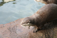 Otter Asian Small-clawed Otter...