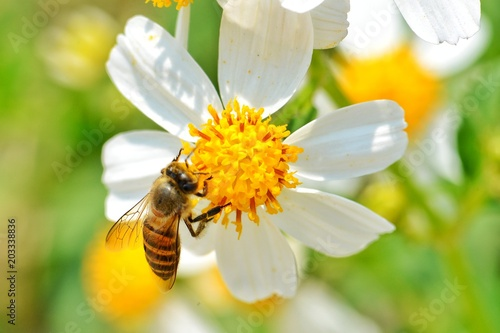 Spoed Foto op Canvas Bee Little bee hang on the white flower