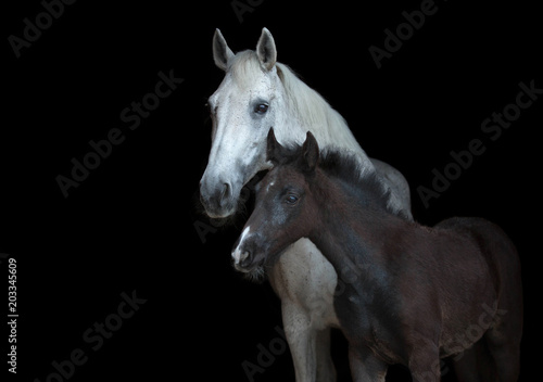 Foto Arabian mare with a foal isolated on black background.