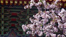 4K Cherry Blossom Sakura Flower At Tian Yuan Gong Temple In Tamsui. Temple Of Heaven Is A Tall Pagoda Shrine Dedicated To Different Taoist Gods. Tianyuan Is A Tourist Destination Taiwan In Taipei-Dan