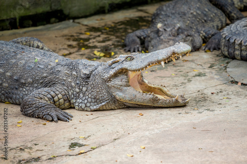 Spoed Foto op Canvas Krokodil Crocodile , thailand