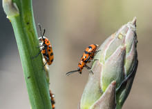 Spotted Asparagus Beetle On The Asparagus Sprout Top.