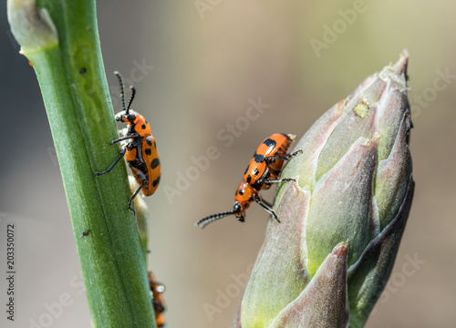 Photo Spotted asparagus beetle on the asparagus sprout top.