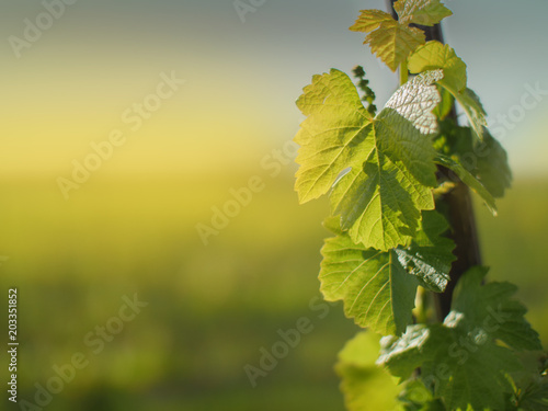 Wall Murals Vineyard Grape leaves growing on grapevine in vineyard in spring
