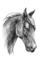 Sketch A Horse Head, Black And...