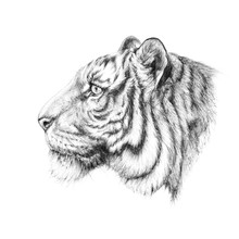 Sketch, Graphics Head Of A Tiger On The Side