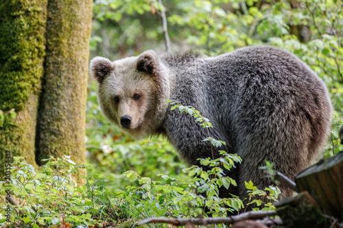 Fotografie, Obraz  Orso bruno (Ursus arctos) nella foresta della Slovenia