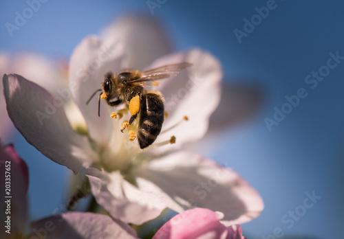 Bee on a gentle white flowers of apple tree - malus pumila
