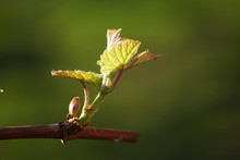 Spring. Young Green Sprouts On The Branches Of Grapes.
