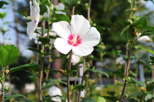 The Beauty Of The Hibiscus Syriacus Flower Rose Of Sharon