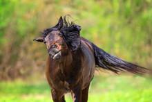 Bay Horse Flies Off The Flies On Summer Pasture