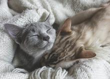 Due Gattini Bengala E Blu Di Russia