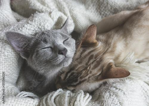 Fotografija due gattini bengala e blu di russia