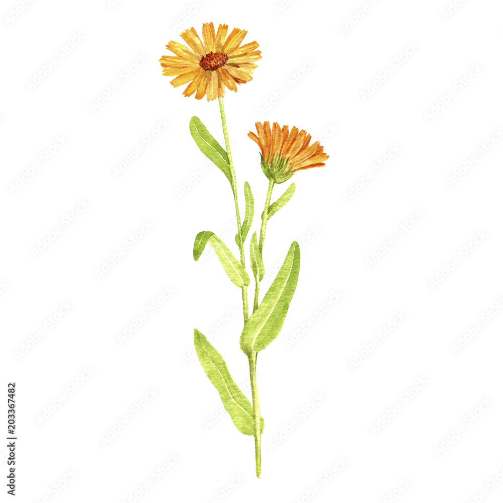 Fototapety, obrazy: Watercolor drawing plant of calendula