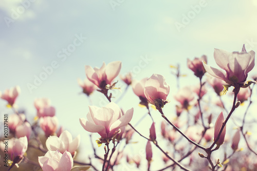 Foto op Plexiglas Magnolia Blooming flowers of magnolia in the park.