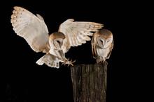 Barn Owl Couple, Male And Fema...