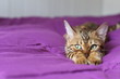 canvas print picture - Cute pedigreed cat showing tenderness
