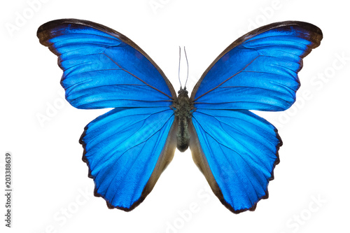 Morpho butterfly Tablou Canvas