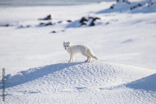 Fototapeta Lis polarny w zimowej szacie obraz