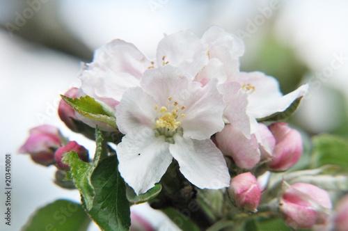 Plakat Piękny kwiat jabłoni w kwietniu, maju