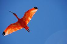 Vol D'un Ibis Rouge