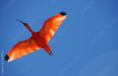 Photo  vol d'un ibis rouge