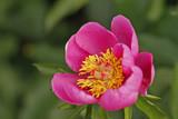 peonia o rosa de alenjandria